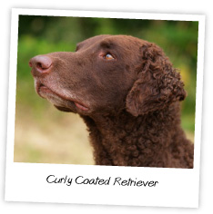 curley coated retriever