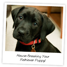 house breaking your retriever puppy