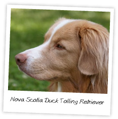 nova scotia duck trolling retriever