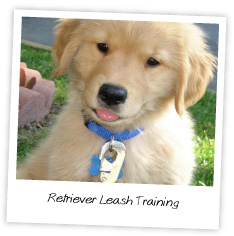 Retriever Leash Training