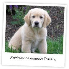 retriever obedience training