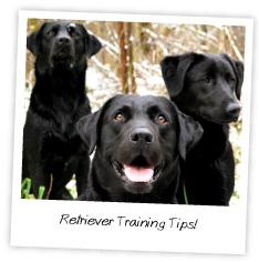 retriever training tips