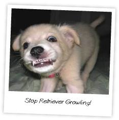 stop retriever growling